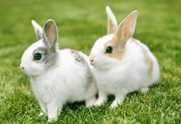 獺兔的繁殖、營養與飼料配比